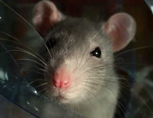 bigstockphoto_Rat closeup_966072